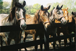 Holy Blitzer is on the left. Katy's Office Girl is the gray to the right. They are both yearlings.